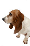 Profile of a dog's big nose and long ears. Profile of a basset hound dog's big nose and long ears royalty free stock images