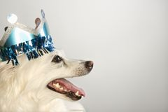 Profile of dog wearing crown. Profile of fluffy white dog wearing paper crown Stock Photos