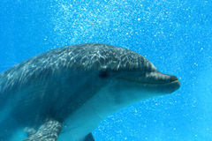 Profile Of Dolphin. Ocean Life - Closeup of a dolphin creating bubbles in the water stock photo