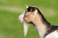 Profile of domestic goat Stock Photography
