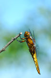 Profile of a dragonfly. Big dragonfly on stick, profile view Royalty Free Stock Images