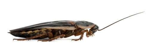 Profile of Dubia cockroach, Blaptica dubia Royalty Free Stock Photos