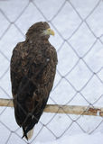 Profile eagle bird in a cage. On snow background stock photo