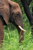 Profile of elephant eating Stock Photos