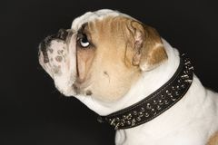 Profile of English Bulldog. Stock Image
