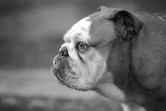 Profile of English Bulldog Stock Images