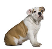 Profile of English Bulldog puppy, sitting Stock Photo