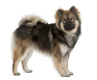 Profile of Eurasier dog, standing Royalty Free Stock Image