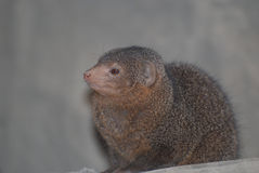 Profile and Face of a Dwarf Mongoose Royalty Free Stock Photos