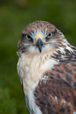 Profile of a Falcon Royalty Free Stock Photos
