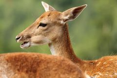 Profile of a fallow deer doe Stock Photos