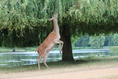 Profile fallow deer stag eating from tree reach stretch stock image