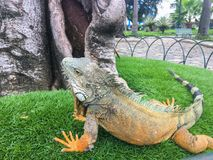 Gallant Iguana in Seminario Park, Guayquil Ecuador. Profile of a fearless large iguana posing in the grass at the park. Close up of colorful, scaly skin and Stock Image