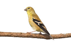 Profile of female american goldfinch perched. On a branch. white background stock image