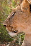 Profile of female lion Stock Image