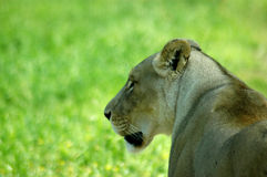 Profile of female lion Royalty Free Stock Photos