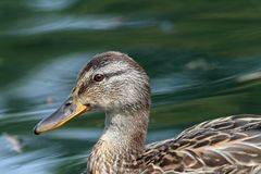 Profile of a female mallard duck Royalty Free Stock Photo