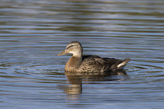 Profile of female mallard duck in blue water with concentric cir. Cles Stock Photo