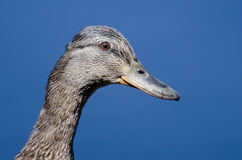 Profile of a Female Mallard Duck. Close Profile of a Female Mallard Duck Stock Photos