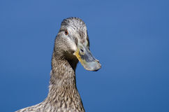 Profile of a Female Mallard Duck. Close Profile of a Female Mallard Duck Royalty Free Stock Images