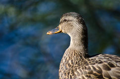 Profile of Female Mallard Duck. Close Up Profile of Female Mallard Duck Stock Photos