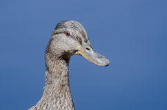Profile of a Female Mallard Duck. Close Up Profile of a Female Mallard Duck Royalty Free Stock Photos