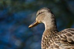 Profile of Female Mallard Duck. Close Up of a Profile of Female Mallard Duck Stock Image