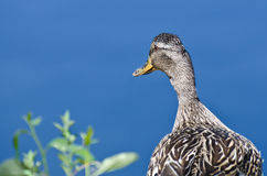 Profile of a Female Mallard Duck. Looking Out Over The Lake Royalty Free Stock Image