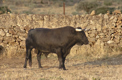 Profile of fighting bull. Breeding Royalty Free Stock Photos