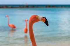 Profile of a Flamingo on a Beach. A handsome flamingo strolls on a beach with his two friends and beautiful blue lagoon and ocean water in the back ground Stock Photography