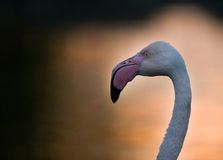 Profile of flamingo Royalty Free Stock Images