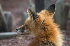 Profile fox Royalty Free Stock Photography