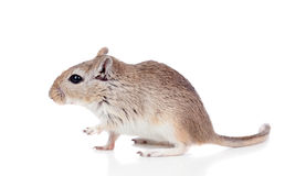 Profile of a funny gerbil Royalty Free Stock Photo