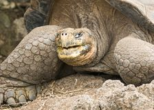 Profile of a Galapagos Tortoise royalty free stock images
