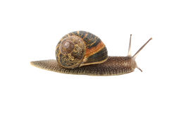 Profile of garden snail with boldly striped shell. Isolated on a white background Stock Photos