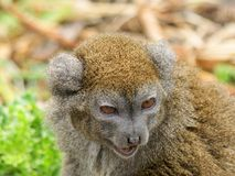 Prortrait of Gentle Lemur Stock Photography