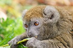 Portrait of Gentle Lemur eating Stock Image