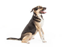 Profile of German Shepherd Cross Stock Image