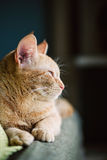 Profile of a ginger cat Stock Photos