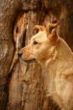 Profile Ginger Dog on Wood Background Royalty Free Stock Photos