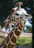Profile of a giraffe. A close up profile portrait of a Giraffe royalty free stock photography