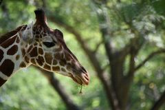 Profile of a giraffe Stock Images
