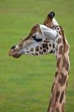 Profile of a Giraffe head Royalty Free Stock Photo