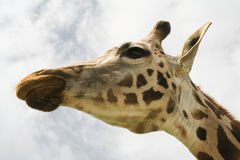 Profile of Giraffe over cloudy sky Royalty Free Stock Images