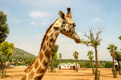 Profile of a giraffe in a zoo Royalty Free Stock Images