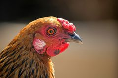 PROFILE OF GOLD COLOURED CHICKEN. Profile and face of gold and black coloured hen with red comb and wattle royalty free stock photo
