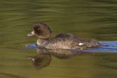 Profile of Goldeneye in calm water with reflection Royalty Free Stock Photos