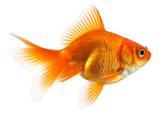 Profile of goldfish Stock Images