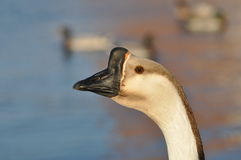 Profile of a goose Royalty Free Stock Images