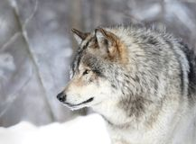 Profile of grat wolf Royalty Free Stock Image